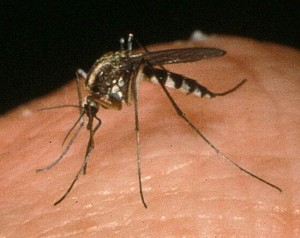 mosquito_adult
